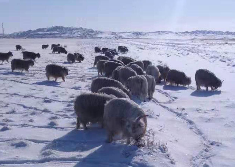 二狼山のヤギ